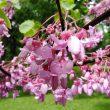 На чернігівському Валу розцвіли рідкісні дерева – церцис європейський